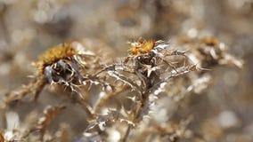 Dziewięćsiłów osetów Carlina hispanica suche dzikie rośliny zdjęcie wideo