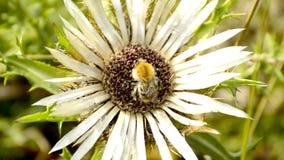 Dziewięćsiła oset z bumblebee zdjęcie wideo