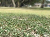 Dziewicza trawa Obrazy Stock