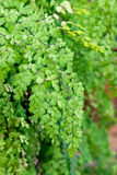 Dziewiczy Włosiany Paprociowy Adiantum Sp zieleni liść błyszczący Obrazy Stock