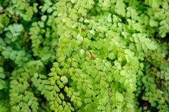 Dziewiczy Włosiany Paprociowy Adiantum Sp zieleni liść błyszczący Zdjęcie Stock