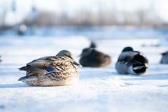 Dzika żeńska kaczka z jej kierdlem odpoczywa na delikatnym śniegu obrazy royalty free