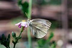 Dzika łąkowa trawa i motyl w wiośnie w naturze makro- Fotografia Stock