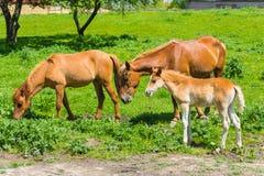 dzika życie rodzinna końska natura obraz stock