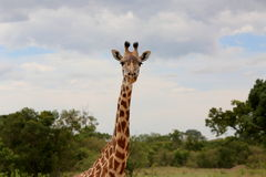 Dzika żyrafa Obrazy Royalty Free