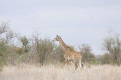 Dzika żyrafa w sercu sawanna, Kruger park narodowy, POŁUDNIOWA AFRYKA Zdjęcie Royalty Free