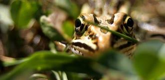 dzika żaba Obrazy Royalty Free