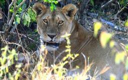 Dzika afrykańska lwica Masai Mara rezerwa w Kenja Zdjęcie Stock