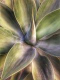 Dzika agawa na Tenerife Zdjęcie Royalty Free