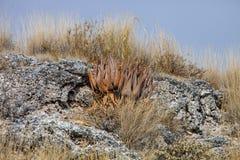 Dzika aloes roślina w skalistym afrykanina krajobrazie Zdjęcia Royalty Free