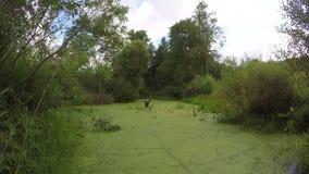 Dzika bagno stawu woda z zielonym duckweed Timelapse 4K zbiory wideo