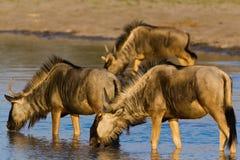 Dzika beest migracja w Tanzania Obrazy Stock