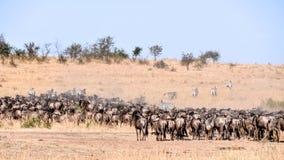 Dzika beest migracja w Tanzania Zdjęcie Royalty Free