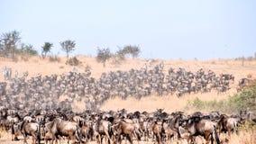 Dzika beest migracja w Tanzania Obrazy Royalty Free