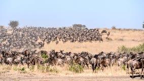 Dzika beest migracja w Tanzania Fotografia Stock
