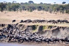 Dzika beest migracja w Tanzania Obraz Royalty Free