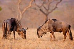 Dzika beest migracja w Tanzania Zdjęcia Royalty Free