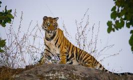 Dzika Bengalia tygrysa pozycja na dużej skale w dżungli indu 17 2010 bandhavgarh bandhavgarth gromadzkich słonia ind madhya marsz Obrazy Stock