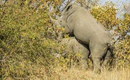 Dzika białej nosorożec kotelnia w krzaku w Kruger parku, Obraz Stock