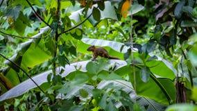 Dzika brown azjatykcia wiewiórka Obraz Royalty Free