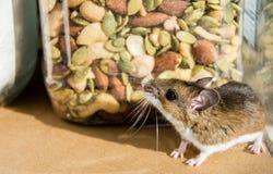 Dzika brown domowa mysz ono przygląda się up przy zbiornikiem mieszane dokrętki w kuchennym gabinecie Obrazy Stock
