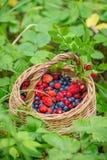 Dzika czarna jagoda i truskawka w koszu outdoors Obraz Royalty Free