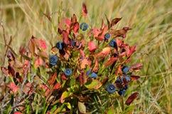 Dzika czarna jagoda w jesieni ulistnieniu Obraz Stock