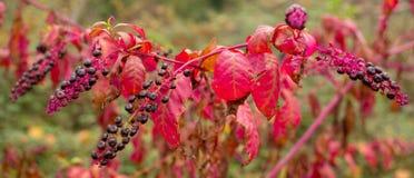 Dzika Czarnej wiśni roślina w jesieni Fotografia Stock