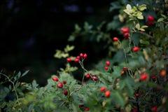 dzika czerwieni róża Zdjęcie Stock