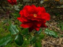 dzika czerwieni róża Fotografia Stock