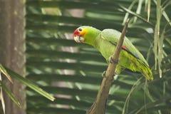 Dzika Czerwona Lored papuga na Nieżywej palmie Obrazy Stock