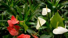Dzika delikatna jadowita kalii leluja z żółtym stamen kwitnieniem w ogródzie jako naturalny kwiecisty tło zdjęcie wideo