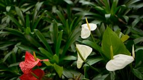 Dzika delikatna jadowita kalii leluja z żółtym stamen kwitnieniem w ogródzie jako naturalny kwiecisty tło zbiory