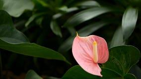Dzika delikatna jadowita kalii leluja z żółtym stamen kwitnieniem w ogródzie jako naturalny kwiecisty tło zbiory wideo