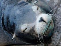 Dzika foka na plaży w Kalifornia zdjęcie royalty free
