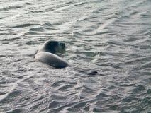 Dzika foka w oceanie Obraz Royalty Free