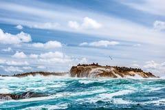 Dzika foki kolonia na kamienistej wyspie Zdjęcie Stock