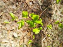 Dzika gałązka z młodymi wiosen zieleniami obrazy stock