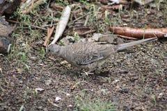 Dzika gołąbka w Costa Rica Obrazy Royalty Free