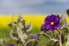 Dzika grula Bush - Wildflowers, Solanum quadriloculatum, zachodnia australia obrazy royalty free