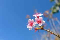 Dzika Himalajska wiśnia, Prunus cerasoides kwiaty zdjęcia stock