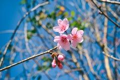 Dzika Himalajska wiśnia, Prunus cerasoides kwiaty obraz stock