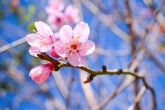 Dzika Himalajska wiśnia, Prunus cerasoides kwiaty fotografia stock