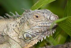dzika iguana fotografia stock