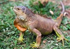 dzika iguana Zdjęcie Royalty Free