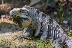 dzika iguana Czarna ogoniasta iguana, Czarna iguana lub Czarny ctenosaur, tropikalna dżungla w Meksyk Zdjęcia Royalty Free