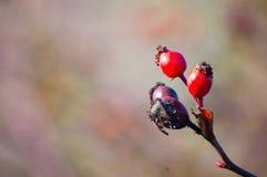 Dzika jagoda w naturze Fotografia Stock