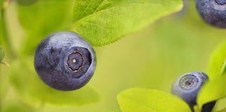 dzika jagodowe zdjęcie royalty free