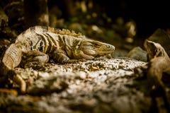 Dzika jaszczurki para gadów zwierzęta w dżungli Obrazy Royalty Free