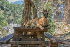 Dzika kózka dzwonił Kri-Kri i jej dziecka obsiadanie na stole w Samaria wąwozie na Crete Fotografia Royalty Free